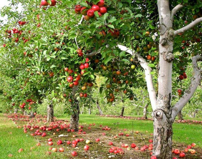 Можно ли яблоню сажать рядом с калиной 45