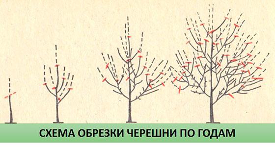 Обрезка вишни схема и