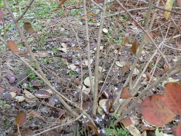 Как сажать черноплодную рябину осенью 498