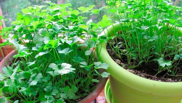 Выращивание кинзы на балконе 85