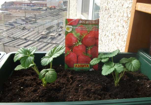 Выращивание земляники на дому