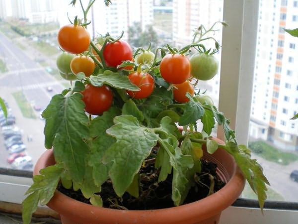 Помидоры балконное чудо выращивание дома зимой 14