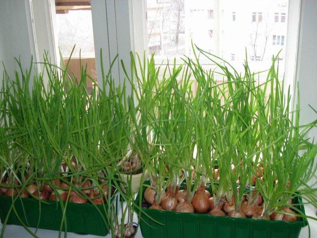 Выращивания зеленого лука в квартире 4