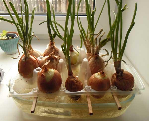 Выращивания зеленого лука в квартире 28