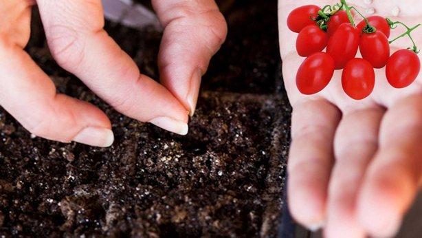 Когда сажать помидоры на рассаду в 2019 году по Лунному календарю изоражения