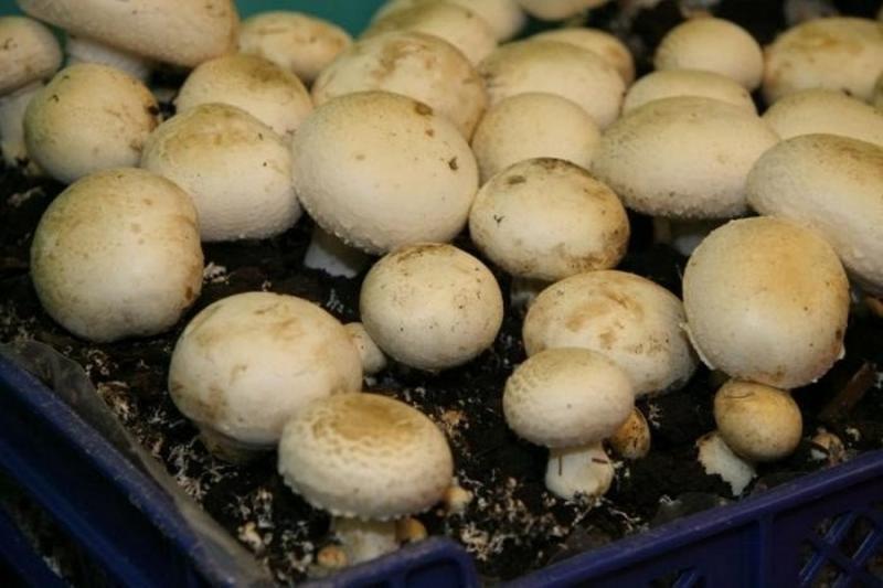 Семена грибов для выращивания на даче 61