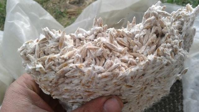 Как сделать мицелий вешенок