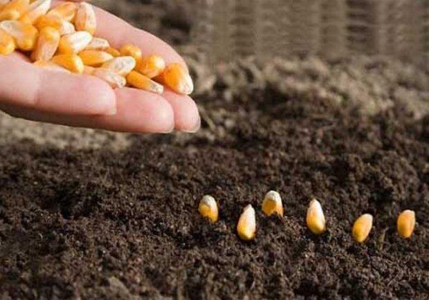 Выгодно ли сажать кукурузу 84