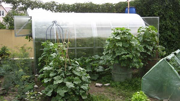 Выращивание фасоли в бочке 64