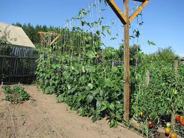 Зелёная фасоль выращивание и уход 20