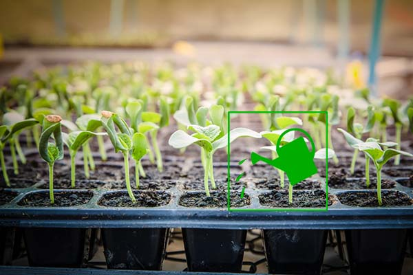 Как правильно в домашних условиях вырастить рассаду 71