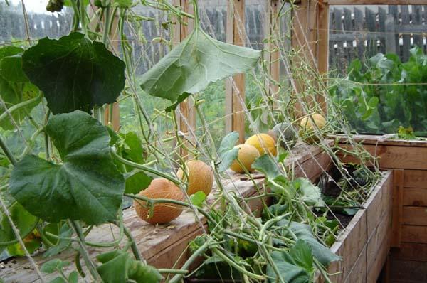 Физалис мармеладный выращивание и уход 22