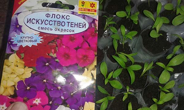 Как сеять флоксы на рассаду в домашних условиях 3