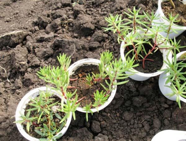 Как сеять портулак в грунт