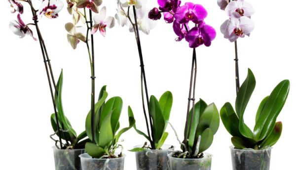 Орхидея вред и польза