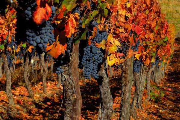 Посадка винограда осенью украине