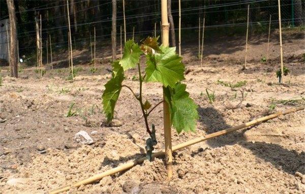 Когда лучше сажать саженцы винограда