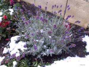 Укрытие лаванды на зиму