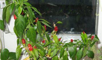 Выращивание горького перца Огонек или Чили на подоконнике в домашних условиях