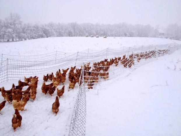 болезни кур несушек зимой и их лечение