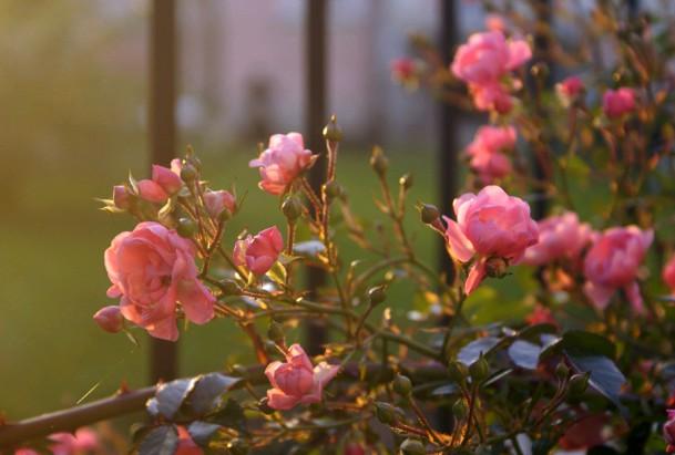Осенняя посадка роз с открытой корневой системой в сибири