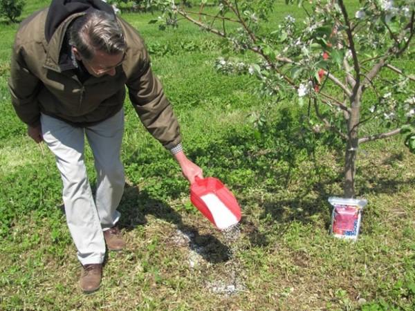 Чем подкормить яблоню весной во время цветения