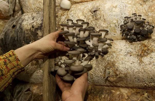 Как вырастить грибы вешенки в мешках