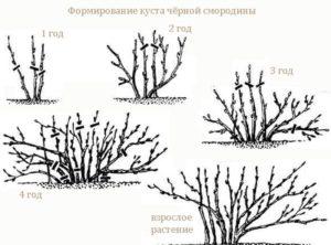 Схема формирования куста черной смородины