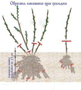 Обрезка ежевики весной при посадке