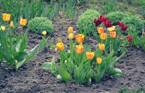 Когда высаживать тюльпаны осенью в средней полосе
