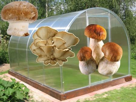 Правильное выращивание белых грибов в теплице 22