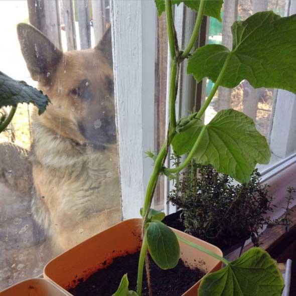 Выращивание огурцов в домашних условиях на балконе или подок.