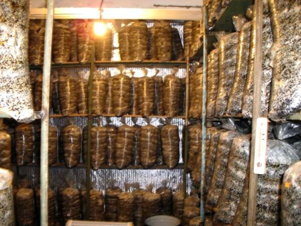 Освещение и вентиляция помещения для выращивания вешенки