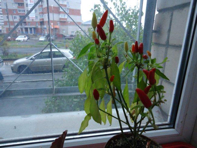 Как вырастить горький перец огонек или Чили на подоконнике: .