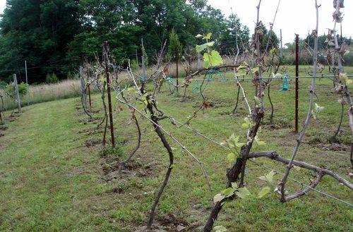 На каком расстоянии сажать виноград на участке: интервалы 64