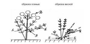 Схема обрезки крупнолистной гортензии весной и осенью