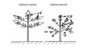 Схема обрезки метельчатой гортензии весной и осенью