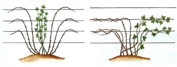Правила обрезки и формировки ежевики
