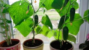 Выращивание огурцов на подоконнике в квартире - советы начинающим садоводам