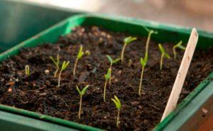 Выращивание перца чили на подоконнике
