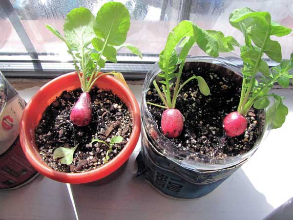 Емкость для выращивания редиса на окне