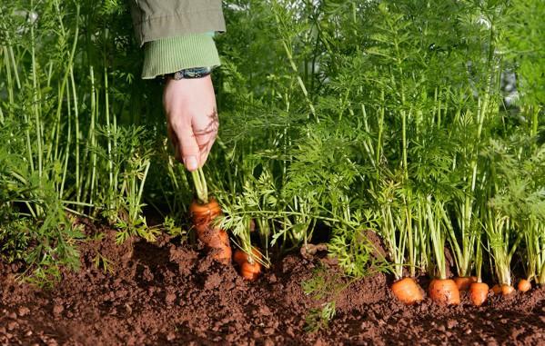Как правильно посадить морковь семенами весной