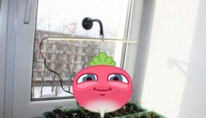 Как в домашних условиях выращивать редис?