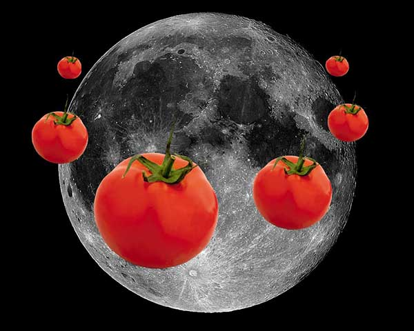 Помидоры: благоприятные дни посева по лунному календарю, почва, температура, хорошие сорта помидоров
