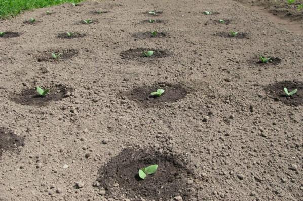 Когда сеять огурцы в открытый грунт