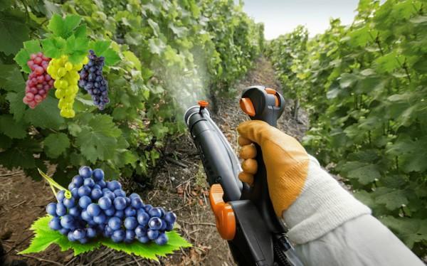 Обработка винограда весной: когда и чем опрыскивать от болезней и ...