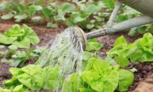 Как правильно выращивать шпинат в открытом грунте?