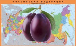 Посадка сливы в Подмосковье, Поволжье, на Урале и Сибири