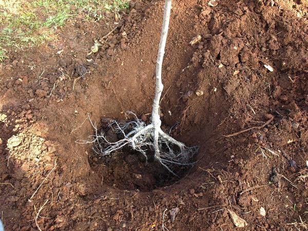 Посадки сливы в яму