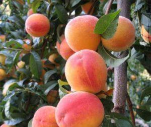 Преимущества прививки абрикоса